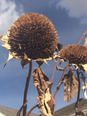 2014.10.27 dead sunflowers