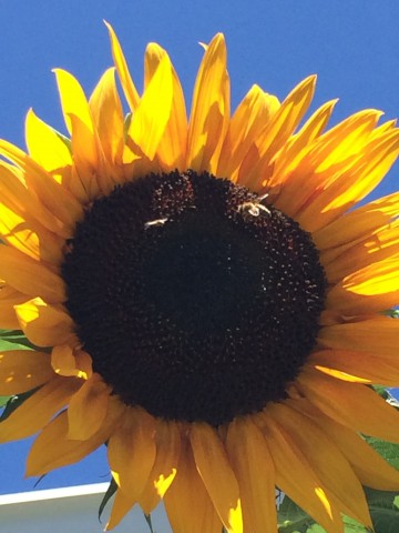 2014.10.27 sunflower3